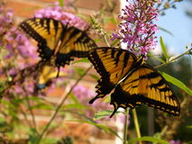 Tigre del este Swallowtail Imágenes de archivo libres de regalías