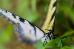 Tigre del este Swallowtail Foto de archivo