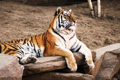 Tigre del giardino zoologico Fotografia Stock Libera da Diritti