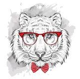 Tigre del retrato de la imagen en el pañuelo y con los vidrios Tienda extrema del deporte Imagen de archivo