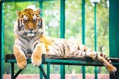 Tigre del Tigri l'altaica-Amur della panthera della tigre siberiana Fotografia Stock