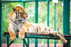 Tigre del Tigri l'altaica-Amur della panthera della tigre siberiana Fotografie Stock Libere da Diritti
