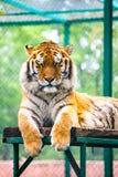 Tigre del Tigri l'altaica-Amur della panthera della tigre siberiana Fotografia Stock Libera da Diritti