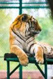 Tigre del Tigri l'altaica-Amur della panthera della tigre siberiana Immagini Stock Libere da Diritti