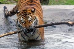 Tigre dell'Amur Fotografia Stock