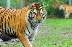 Tigre dell'Amur Fotografie Stock
