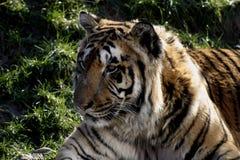 Tigre dell'Amur fotografie stock libere da diritti