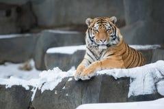Tigre dell'Amur immagini stock