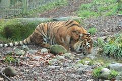 Tigre dell'Amur. Immagini Stock