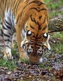 Tigre dell'Amur immagine stock libera da diritti
