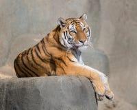 Tigre dell'Amur immagine stock