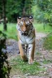 Tigre dell'Amur che cammina lungo una strada nella foresta Immagine Stock