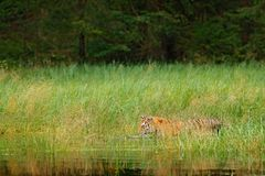 Tigre dell'Amur che cammina nell'erba dell'acqua di fiume Animale del pericolo, taiga, Russia Corrente verde animale della forest immagini stock