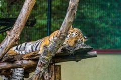 Tigre dell'Amur che dorme sui rami fotografia stock libera da diritti