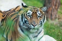 Tigre dell'Amur che riposa sulle rocce immagine stock libera da diritti