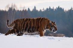Tigre dell'Amur del siberiano nella preda di rintracciamento della natura selvaggia di inverno - altaica del Tigri della panthera Fotografia Stock Libera da Diritti