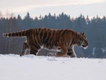 Tigre dell'Amur del siberiano nella preda di rintracciamento della natura selvaggia di inverno - altaica del Tigri della panthera Fotografia Stock