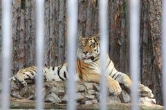 Tigre dell'Amur nella recinzione dello zoo Immagine Stock