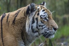 Tigre dell'Amur o tigre siberiana fotografia stock libera da diritti