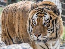 Tigre della西伯利亚 免版税库存照片