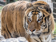 Tigre della Siberia Royalty Free Stock Photo
