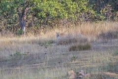 Tigre derrière l'herbe Photos stock
