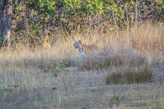 Tigre derrière l'herbe sèche Images libres de droits