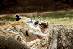 Tigre descansó fotografía de archivo