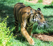 Tigre di appostamenti Fotografia Stock
