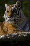 Tigre di Bengala Immagini Stock