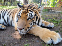 Tigre di Bengala Fotografia Stock