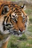 Tigre di Bengala Fotografia Stock Libera da Diritti