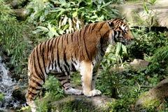 Tigre di Bengala immagine stock libera da diritti