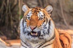 Tigre di Bengala Fotografie Stock Libere da Diritti