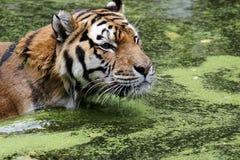 Tigre di Bengala in acqua Immagini Stock Libere da Diritti