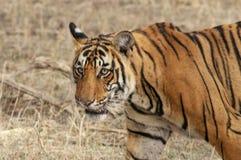 Tigre di Bengala che cammina nel parco nazionale di Ranthambore Fotografie Stock Libere da Diritti