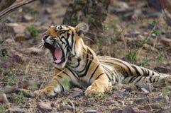 Tigre di Bengala che riposa nel parco nazionale di Ranthambore in India Fotografia Stock Libera da Diritti