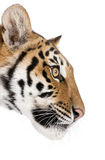 Tigre di Bengala davanti ad una priorità bassa bianca Immagini Stock Libere da Diritti
