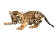 Tigre di Bengala del bambino fotografie stock
