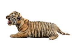 Tigre di Bengala del bambino isolata fotografia stock libera da diritti