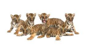 Tigre di Bengala del bambino su fondo bianco fotografia stock libera da diritti