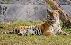 Tigre di Bengala dell'indiano che riposa in sole Fotografie Stock