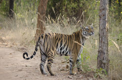 Tigre di Bengala femminile Fotografie Stock
