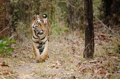 Tigre di Bengala reale Immagini Stock Libere da Diritti