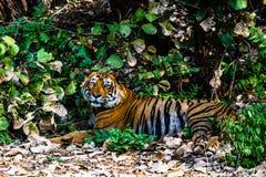 Tigre di Bengala reale T-24 Ustaad Fotografia Stock