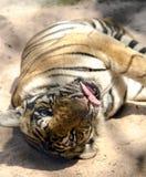 Tigre di Bengala in uno zoo durante milione anni di parco di pietra Immagini Stock
