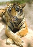 Tigre di Bengala in uno zoo durante milione anni di parco di pietra Fotografia Stock