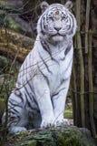Tigre di bianco di Snowy Bengala Fotografia Stock Libera da Diritti