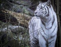 Tigre di bianco di Snowy Bengala Immagine Stock