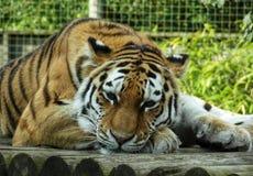 Tigre di distensione immagine stock libera da diritti